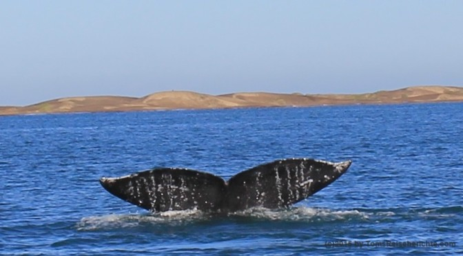 Whale Watching – Ozeanriesen, (Grau-) Wale, aus nächster Nähe erleben